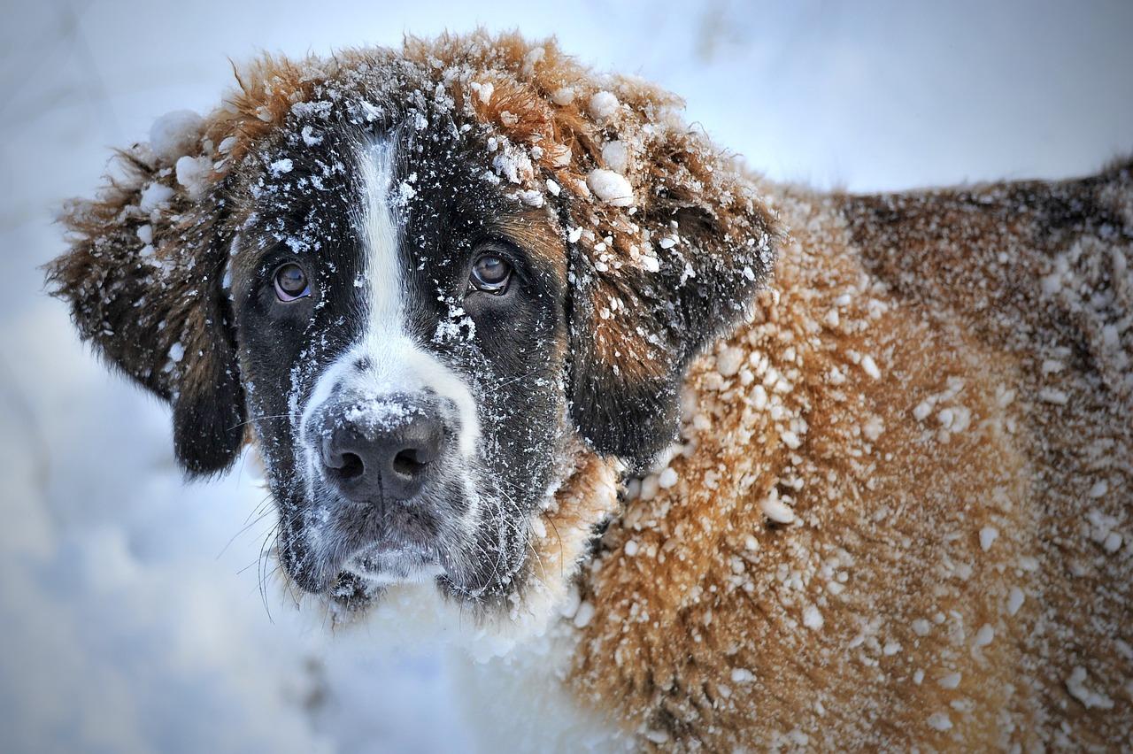 Perro San Bernardo en la nieve